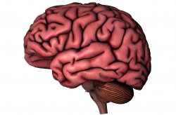 Human Brain Clipart For Kids - Letters