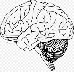Outline of the human brain Clip art - Human brain png download ...