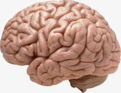 Human Brain, Humanity, Brain PNG Image and Clipart for Free Download