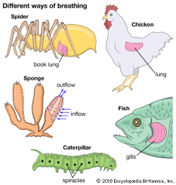 animal | Breathing - Students | Britannica Kids | Homework Help