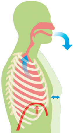 How Do We Breath | Human Breathing System | DK Find Out