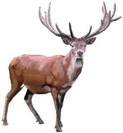 How To Draw A Realistic Deer Step By Step - Clip Art Library