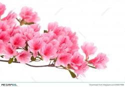 Pink Azalea Flowers Stock Photo 25057965 - Megapixl