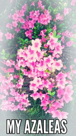 Azalea bush 2016 | A- My Created Pictures | Pinterest | Azalea bush