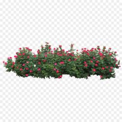 Centifolia roses Shrub Tree Clip art - Rose Bush png download - 3541 ...
