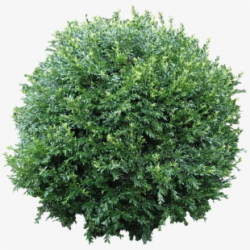 Shrub Bushes Clipart Australian Plant - Bush Png #1301517 ...