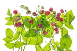 28+ Collection of Raspberry Plant Drawing | High quality, free ...