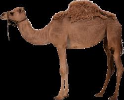 Desert Camel Standing PNG Image - PurePNG   Free transparent CC0 PNG ...