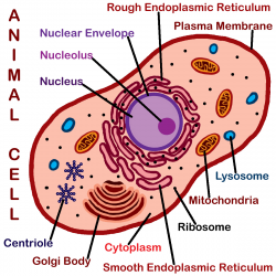 Animals Cell Labeled : 6 Animal Cell Labeled | Biological Science ...