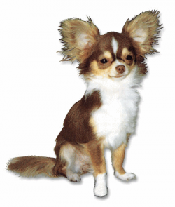 ▷ Chihuahuas: Animated Images, Gifs, Pictures & Animations - 100% FREE!