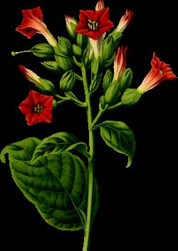 Clipart - Tobacco plant