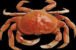 Crab Orange transparent PNG - StickPNG