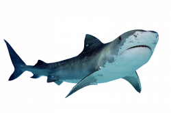 Tiger Shark | #cutouts | Pinterest | Shark and Tigers