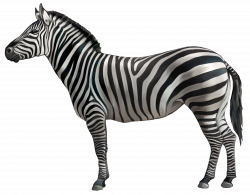 Zebra PNG Clipart Image | Gallery Yopriceville - High-Quality ...