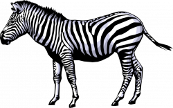 African Zebra Horse - Vector Image