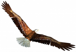 Eagle in Flight Transparent PNG Picture | Gallery Yopriceville ...