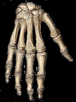 Vintage Halloween Clip Art | ... -: Free Vintage Clip Art - Skeleton ...