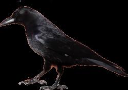 Crow Clipart 29514 Studiobin   Farewell   Pinterest