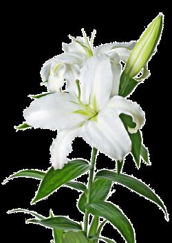 Lilys Site: White Lilies - ClipArt Best - ClipArt Best   Wedding ...