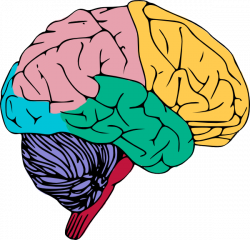 Real Brain Clipart   Letters Format