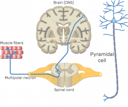 Multipolar Neurons - Structure and Functions