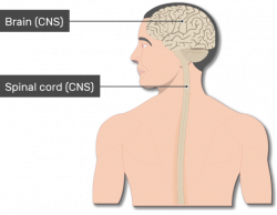 Major Organs and Divisions of the Nervous System