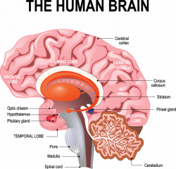 Understanding the nervous system, brain and muscle connection ...