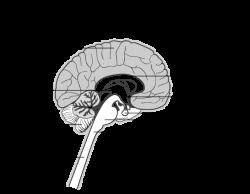 Anatomy Of Brain And Spine – Tweetboard