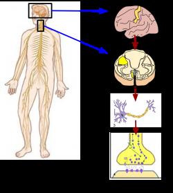 Somatic nervous system - Wikipedia