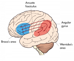 The Nervous System | Noba