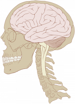 Human brain - Wikipedia