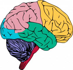 28+ Collection of Colorful Brain Clipart | High quality, free ...