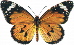 Public Domain Butterfly Illustrations vintage embellishments ...
