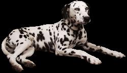 Dalmatian PNG Clipart - Best WEB Clipart