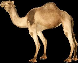 Arabian Camel   Isolated Stock Photo by noBACKS.com