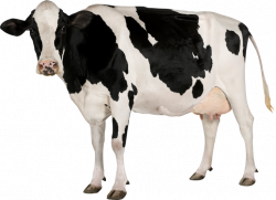 Cow PNG image, free cows PNG picture download