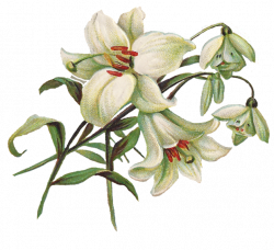 free lily clip art | Lilies Clip Art | seed pack images | Pinterest ...