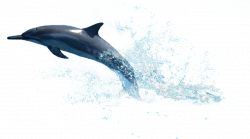 Dolphin PNG Transparent Free Images | PNG Only