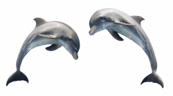 Dolphin PNG Transparent Images Free Download Clip Art - carwad.net