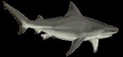Shark PNG | SEA ANIMALS CLIP ART | Pinterest | Shark and Animal