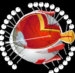 Human eye - Wikipedia