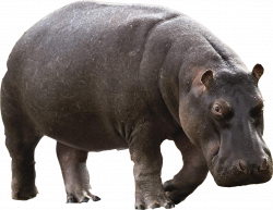 Hippo PNG images free download