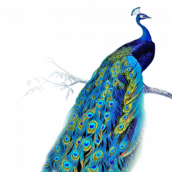peacock gif - Google Search | My Style | Pinterest | Peacocks and ...