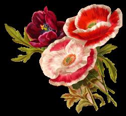 Antique Images: Vintage Poppy Flower Clip Art Botanical Artwork ...