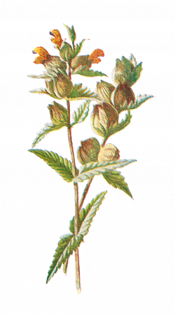 Antique Images: Free Digital Flower Clip Art: Wildflower Graphic o ...