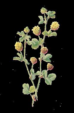 Antique Images: Free Flower Graphic: Wildflower Clip Art Hop Trefoil ...