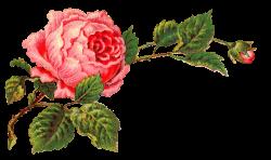 Antique Images: Free Digital Flower Label Pink Rose Clip Art and ...