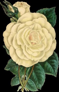 Clipart - Vintage Rose Illustration