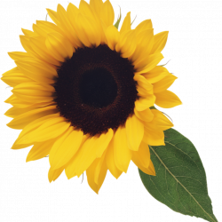 Sunflower Clipart Free computer clipart hatenylo.com