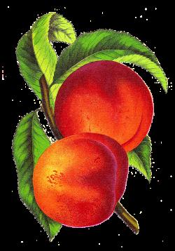 Vintage Peach Illustration Alberta from Vintage Seed Catalog ...